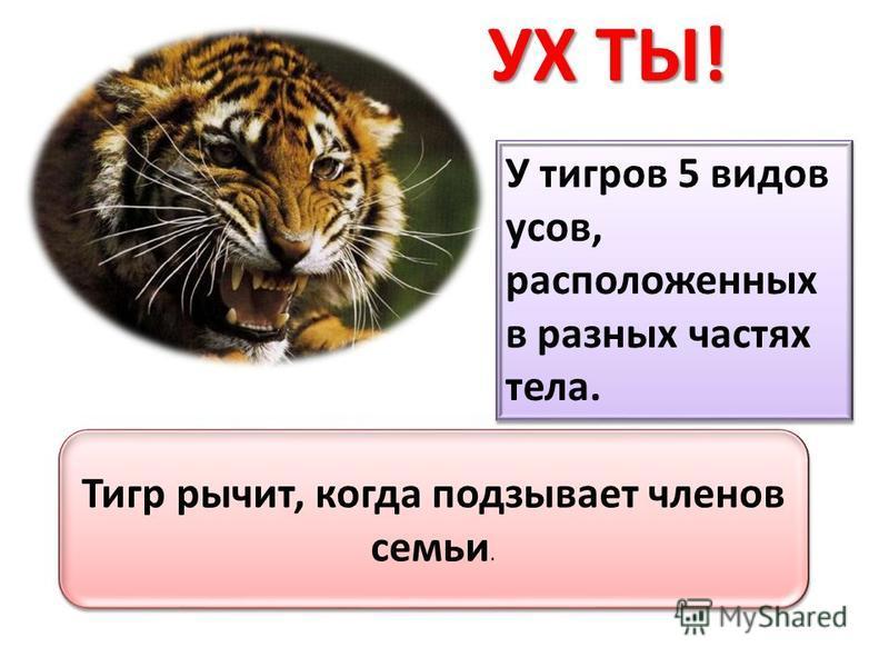 УХ ТЫ! У тигров 5 видов усов, расположенных в разных частях тела. Тигр рычит, когда подзывает членов семьи.
