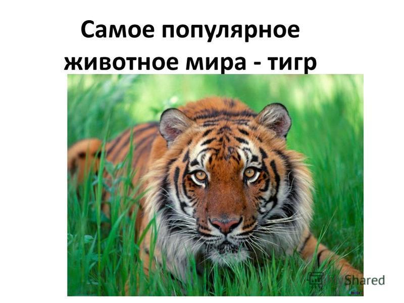 Самое популярное животное мира - тигр