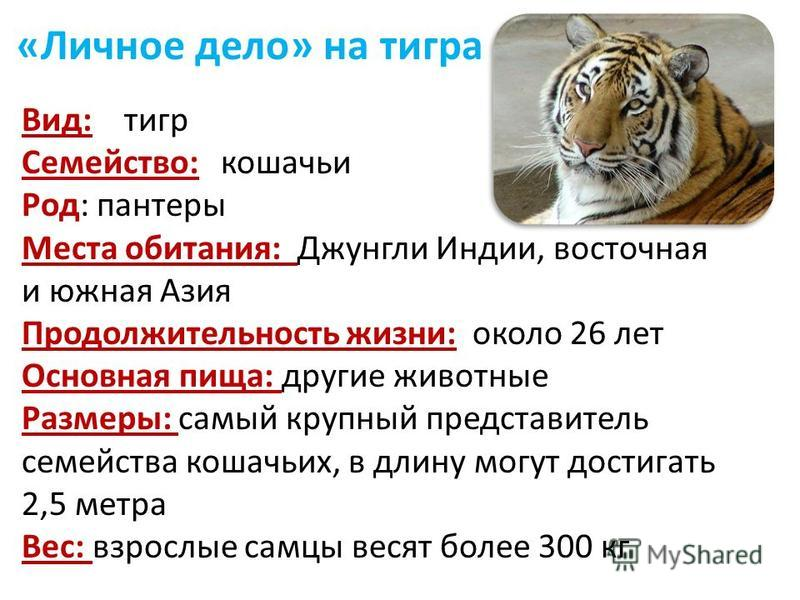 «Личное дело» на тигра Вид: тигр Семейство: кошачьи Род: пантеры Места обитания: Джунгли Индии, восточная и южная Азия Продолжительность жизни: около 26 лет Основная пища: другие животные Размеры: самый крупный представитель семейства кошачьих, в дли