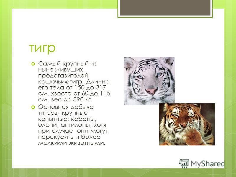 тигр Самый крупный из ныне живущих представителей кошачьих-тигр. Длинна его тела от 150 до 317 см, хвоста от 60 до 115 см, вес до 390 кг. Основная добыча тигров- крупные копытные: кабаны, олени, антилопы, хотя при случае они могут перекусить и более