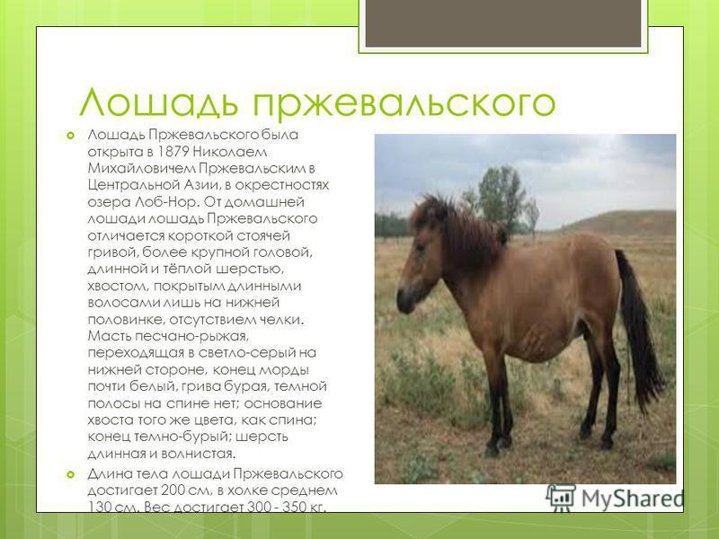 Лошадь пржевальского Лошадь Пржевальского была открыта в 1879 Николаем Михайловичем Пржевальским в Центральной Азии, в окрестностях озера Лоб-Нор. От домашней лошади лошадь Пржевальского отличается короткой стоячей гривой, более крупной головой, длин
