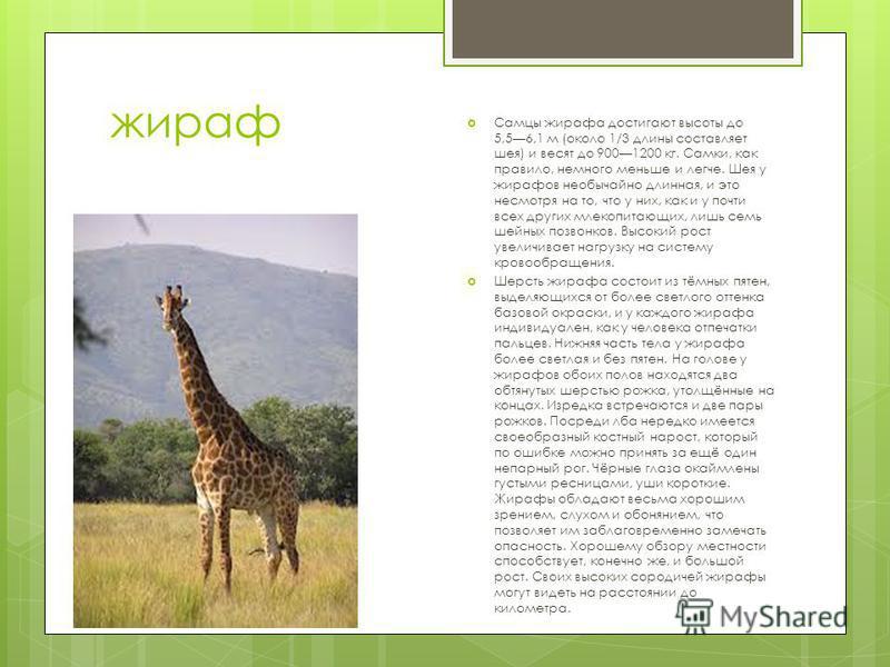 жираф Самцы жирафа достигают высоты до 5,56,1 м (около 1/3 длины составляет шея) и весят до 9001200 кг. Самки, как правило, немного меньше и легче. Шея у жирафов необычайно длинная, и это несмотря на то, что у них, как и у почти всех других млекопита
