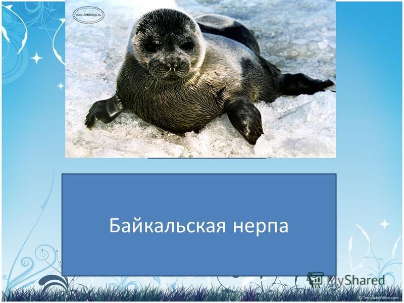 PRESENTATION NAME Company Name Кто обитает в озере Байкал? Байкальская нерпа