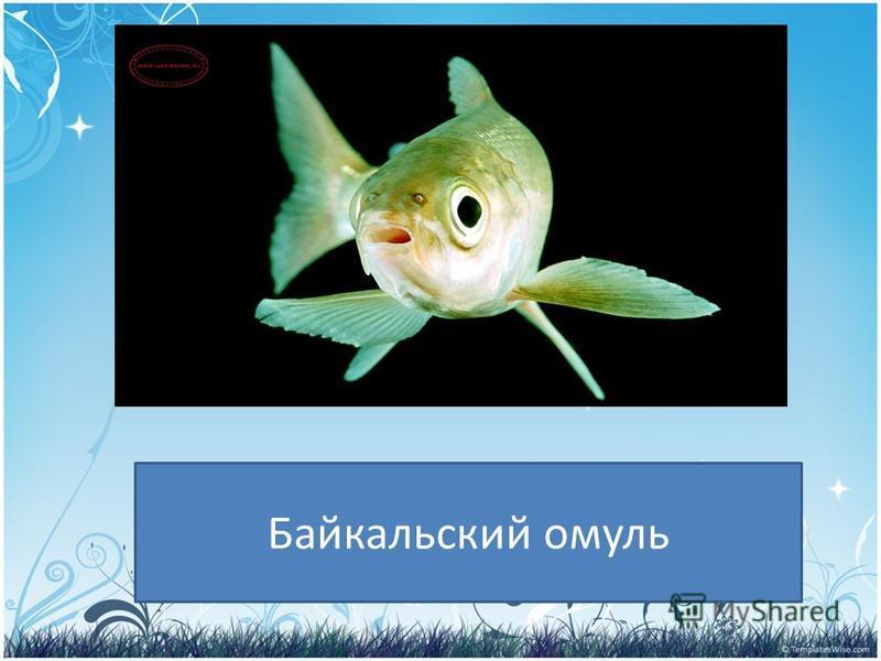 PRESENTATION NAME Company Name Кто обитает в озере Байкал? Байкальский омуль