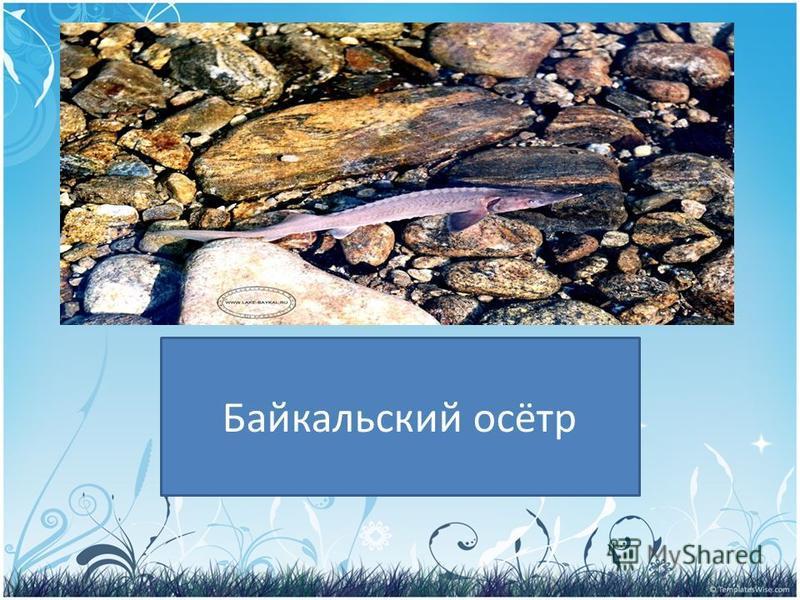 PRESENTATION NAME Company Name Кто обитает в озере Байкал? Байкальский осётр