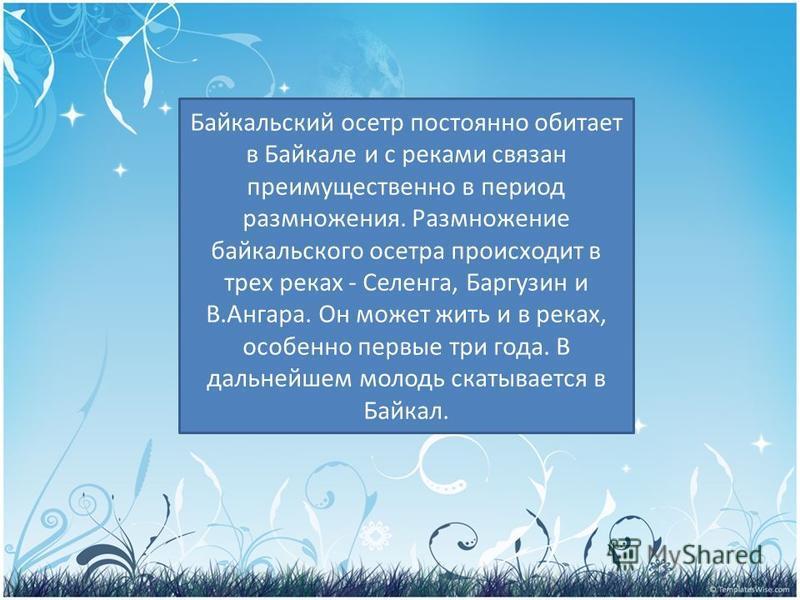 PRESENTATION NAME Company Name Байкальский осетр постоянно обитает в Байкале и с реками связан преимущественно в период размножения. Размножение байкальского осетра происходит в трех реках - Селенга, Баргузин и В.Ангара. Он может жить и в реках, особ