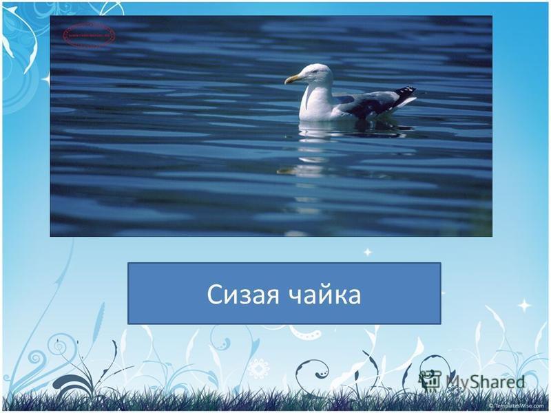 PRESENTATION NAME Company Name Сизая чайка