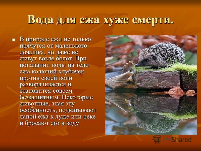 Вода для ежа хуже смерти. В природе ежи не только прячутся от маленького дождика, но даже не живут возле болот. При попадании воды на тело ежа колючий клубочек против своей воли разворачивается и становится совсем беззащитным. Некоторые животные, зна