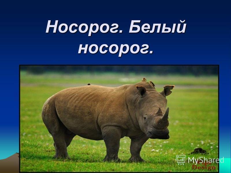Носорог. Белый носорог.