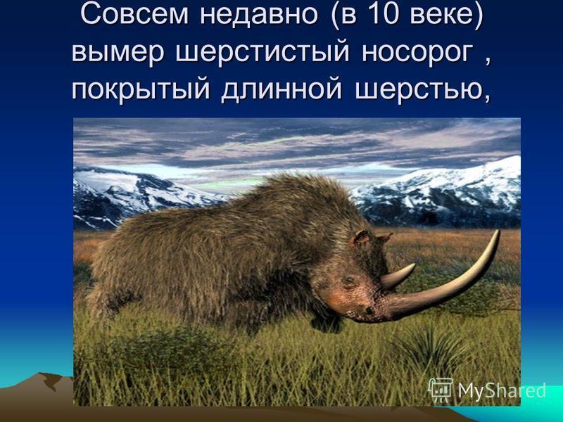 Совсем недавно (в 10 веке) вымер шерстистый носорог, покрытый длинной шерстью,