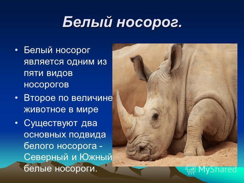 Белый носорог. Белый носорог является одним из пяти видов носорогов Второе по величине животное в мире Существуют два основных подвида белого носорога - Северный и Южный белые носороги.