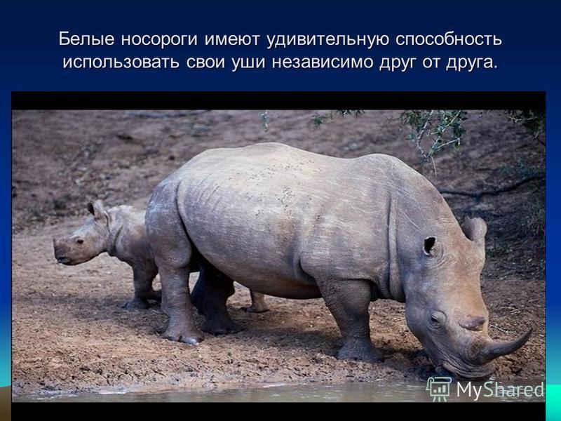Белые носороги имеют удивительную способность использовать свои уши независимо друг от друга.