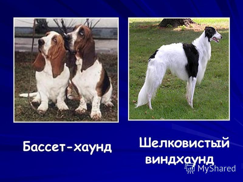 Бассет-хаунд Шелковистый виндхаунд