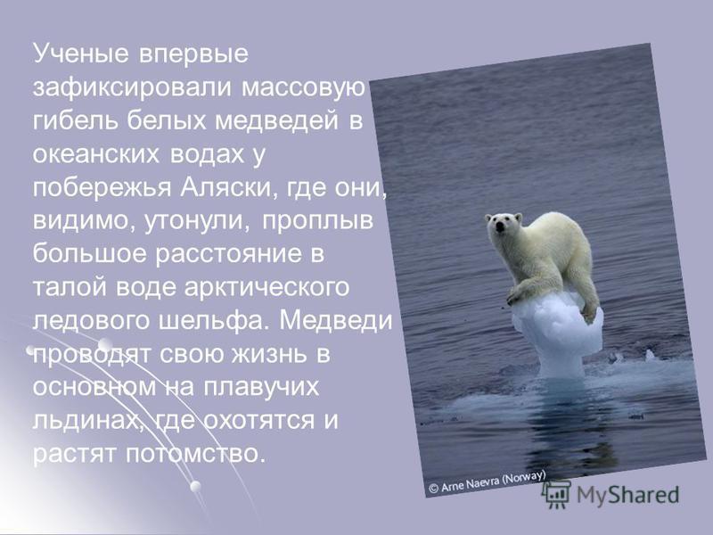 Ученые впервые зафиксировали массовую гибель белых медведей в океанских водах у побережья Аляски, где они, видимо, утонули, проплыв большое расстояние в талой воде арктического ледового шельфа. Медведи проводят свою жизнь в основном на плавучих льдин