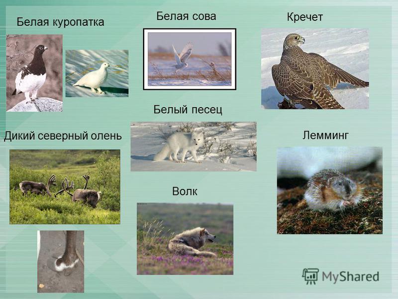 Белая куропатка Белая сова Лемминг Белый песец Кречет Дикий северный олень Волк
