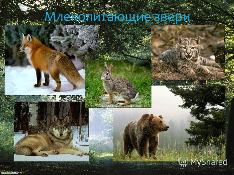 Млекопитающие звери
