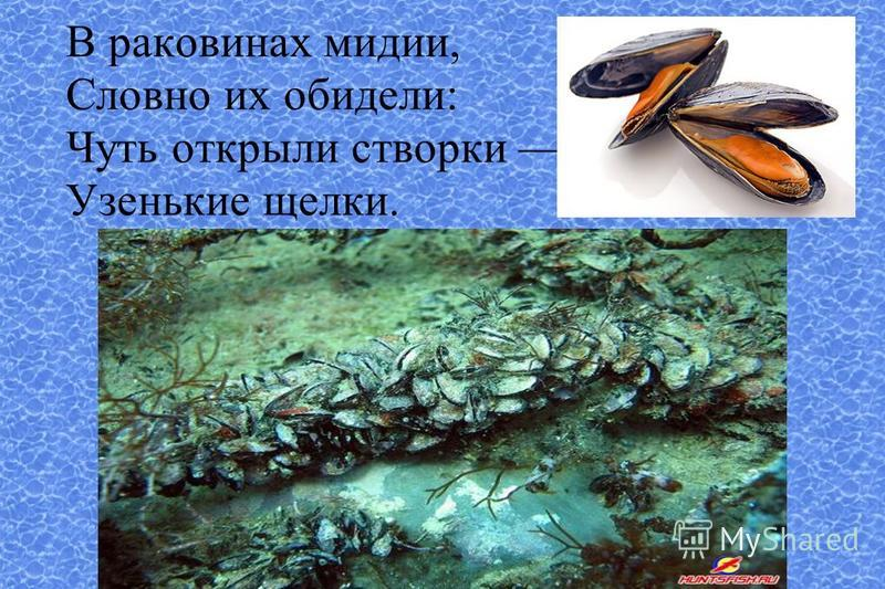 В раковинах мидии, Словно их обидели: Чуть открыли створки Узенькие щелки.