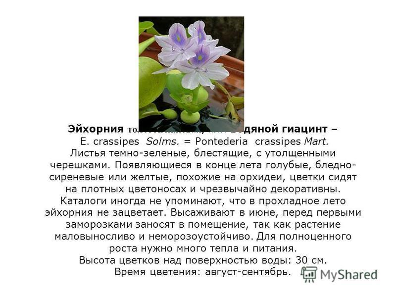 Эйхорния толстоножковая, или водяной гиацинт – Е. crassipes Solms. = Pontederia crassipes Mart. Листья темно-зеленые, блестящие, с утолщенными черешками. Появляющиеся в конце лета голубые, бледно- сиреневые или желтые, похожие на орхидеи, цветки сидя
