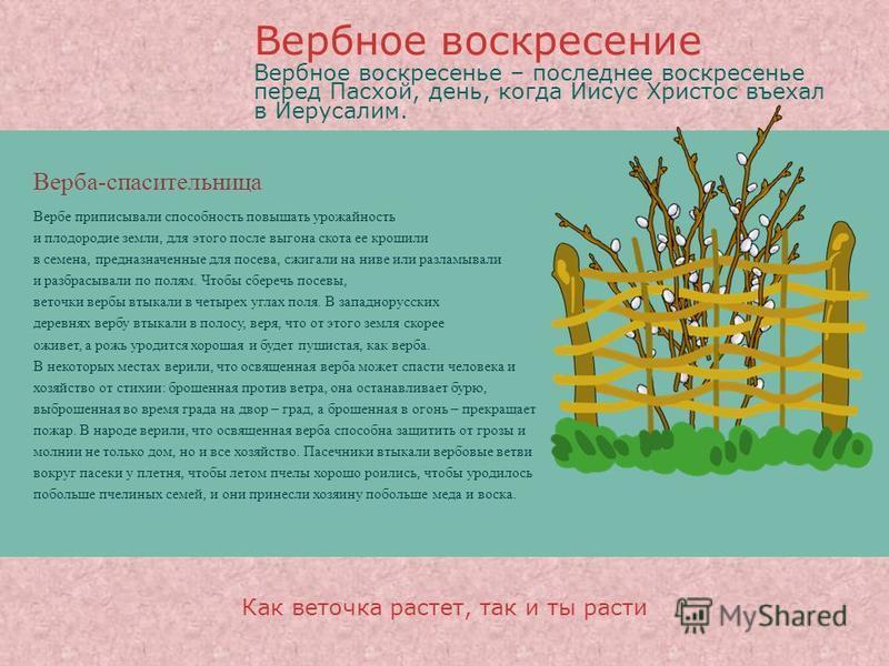 Верба-спасительница Вербе приписывали способность повышать урожайность и плодородие земли, для этого после выгона скота ее крошили в семена, предназначенные для посева, сжигали на ниве или разламывали и разбрасывали по полям. Чтобы сберечь посевы, ве
