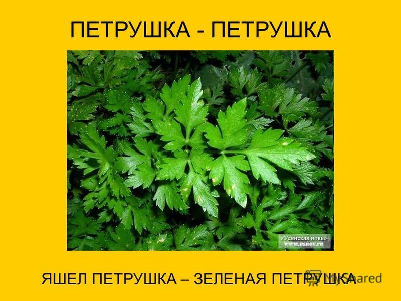 ПЕТРУШКА - ПЕТРУШКА ЯШЕЛ ПЕТРУШКА – ЗЕЛЕНАЯ ПЕТРУШКА