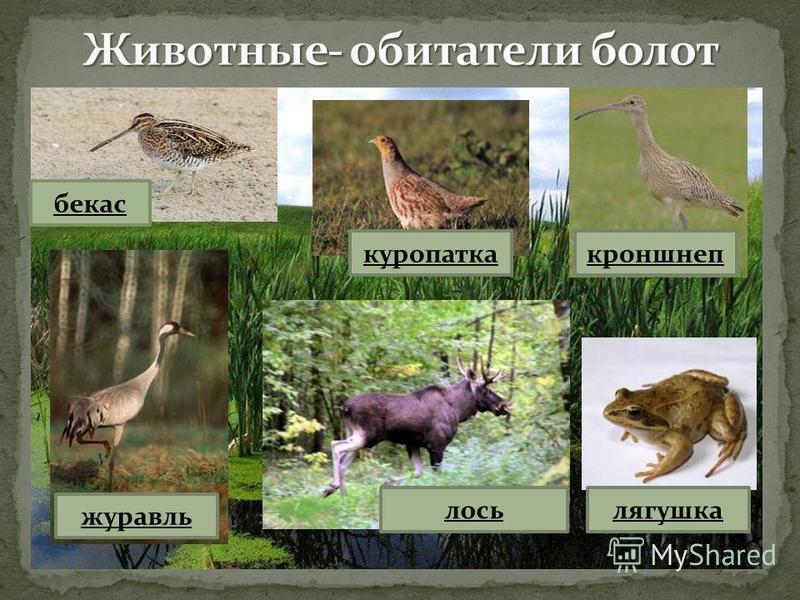 куропатка бекас кроншнеп журавль лось лягушка