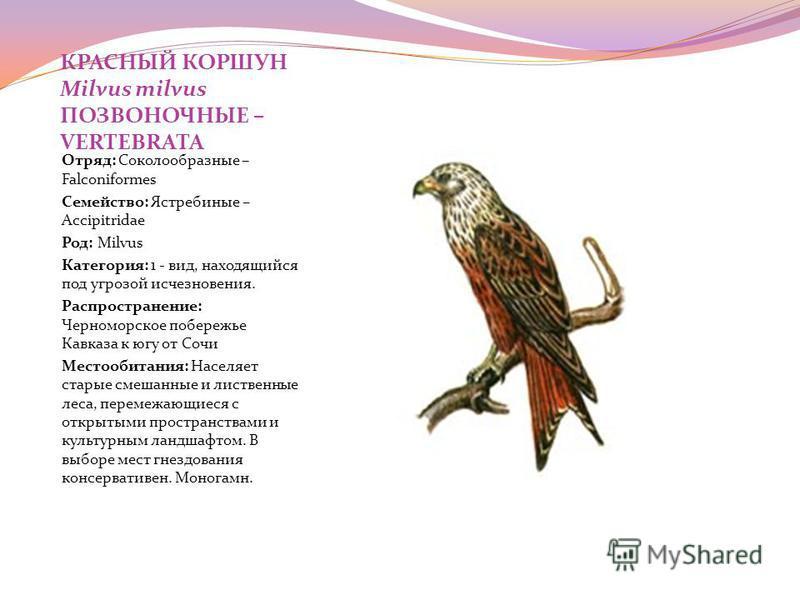 КРАСНЫЙ КОРШУН Milvus milvus ПОЗВОНОЧНЫЕ – VERTEBRATA Отряд: Соколообразные – Falconiformes Семейство: Ястребиные – Accipitridae Род: Milvus Категория: 1 - вид, находящийся под угрозой исчезновения. Распространение: Черноморское побережье Кавказа к ю