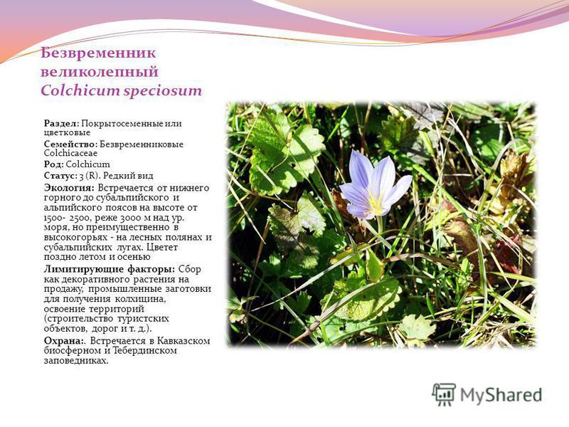 Безвременник великолепный Colchicum speciosum Раздел: Покрытосеменные или цветковые Семейство: Безвременниковые Colchicaceae Род: Colchicum Статус: 3 (R). Редкий вид Экология: Встречается от нижнего горного до субальпийского и альпийского поясов на в