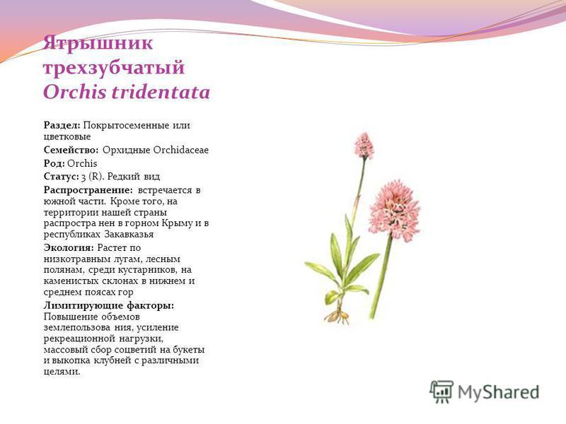 Ятрышник трехзубчатый Orchis tridentata Раздел: Покрытосеменные или цветковые Семейство: Орхидные Orchidaceae Род: Orchis Статус: 3 (R). Редкий вид Распространение: встречается в южной части. Кроме того, на территории нашей страны распространен в гор