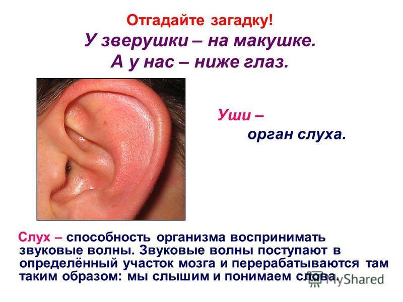 Отгадайте загадку! У зверушки – на макушке. А у нас – ниже глаз. Уши – орган слуха. Слух – способность организма воспринимать звуковые волны. Звуковые волны поступают в определённый участок мозга и перерабатываются там таким образом: мы слышим и пони
