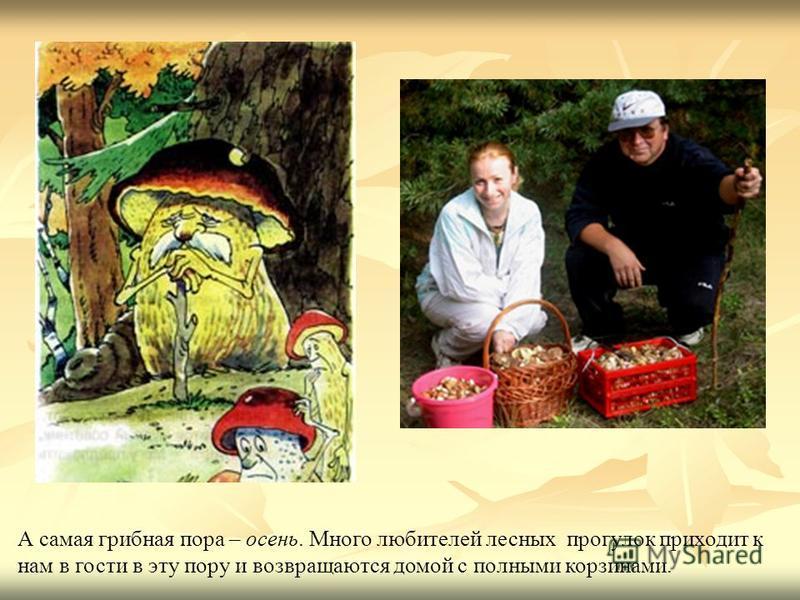 А самая грибная пора – осень. Много любителей лесных прогулок приходит к нам в гости в эту пору и возвращаются домой с полными корзинами.