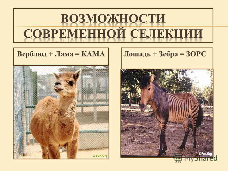 Верблюд + Лама = КАМАЛошадь + Зебра = ЗОРС