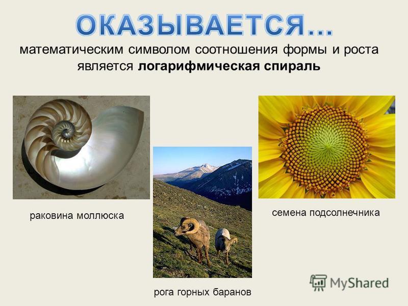 математическим символом соотношения формы и роста является логарифмическая спираль раковина моллюска рога горных баранов семена подсолнечника