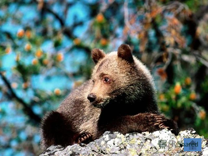 медведь Он в берлоге спит зимой Под большущею сосной. А когда придёт весна, Просыпается от сна