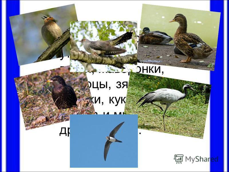 Улетают зимовать утки, журавли, грачи, жаворонки, скворцы, зяблики, стрижи, кукушка, иволга и многие другие птицы.