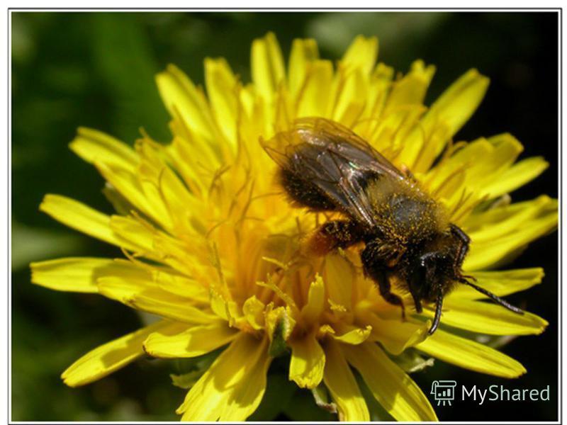 пчела Домовитая хозяйка Полетела над лужайкой. Похлопочет над цветком Он поделится медком.