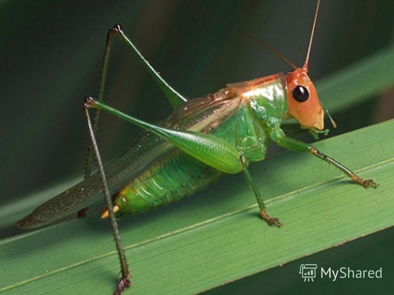 кузнечик С ветки на тропинку, С травинки на травинку Прыгает пружинка Зелёненькая спинка.