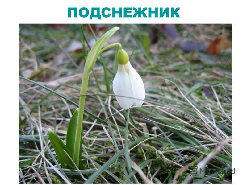 Из-под снега вышел друг, И весной запахло вдруг.