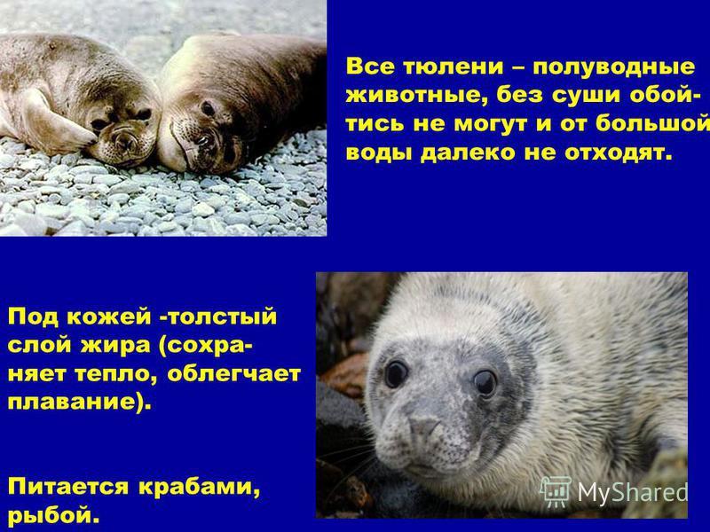 Все тюлени – полуводные животные, без суши обойтись не могут и от большой воды далеко не отходят. Под кожей -толстый слой жира (сохраняет тепло, облегчает плавание). Питается крабами, рыбой.