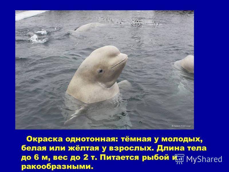 Окраска однотонная: тёмная у молодых, белая или жёлтая у взрослых. Длина тела до 6 м, вес до 2 т. Питается рыбой и ракообразными.