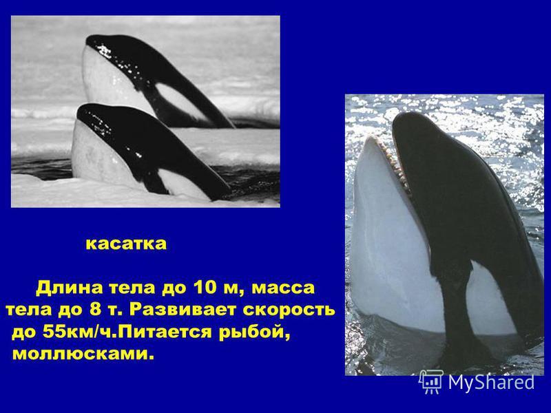касатка Длина тела до 10 м, масса тела до 8 т. Развивает скорость до 55 км/ч.Питается рыбой, моллюсками.