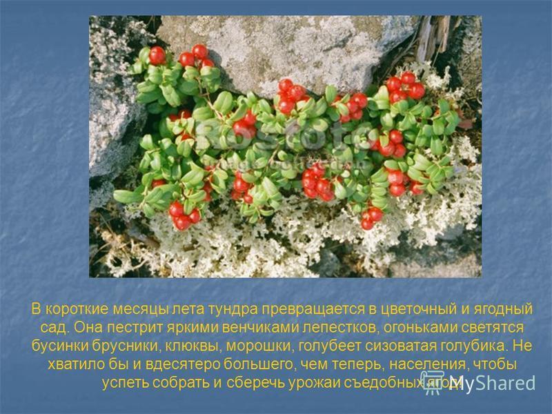 В короткие месяцы лета тундра превращается в цветочный и ягодный сад. Она пестрит яркими венчиками лепестков, огоньками светятся бусинки брусники, клюквы, морошки, голубеет сизоватая голубика. Не хватило бы и вдесятеро большего, чем теперь, населения