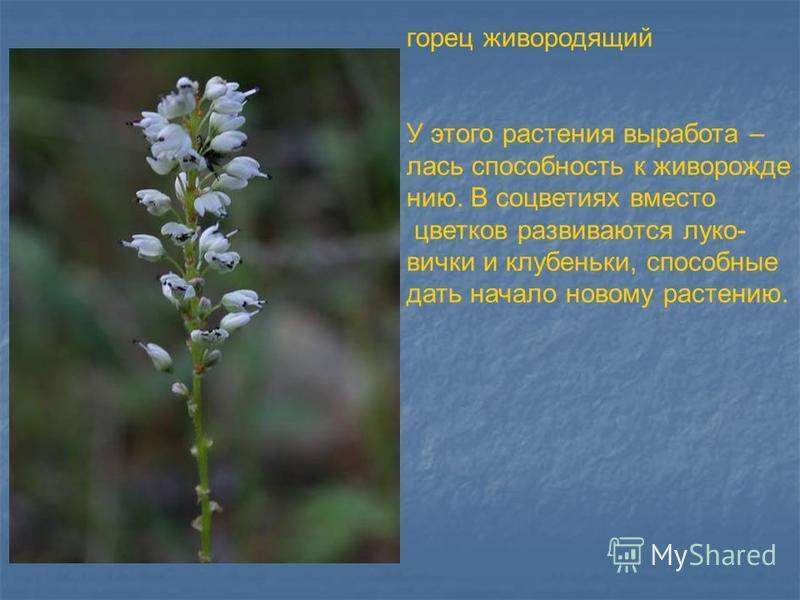 горец живородящий У этого растения выработка – лась способность к живо рождению. В соцветиях вместо цветков развиваются луковички и клубеньки, способные дать начало новому растению.