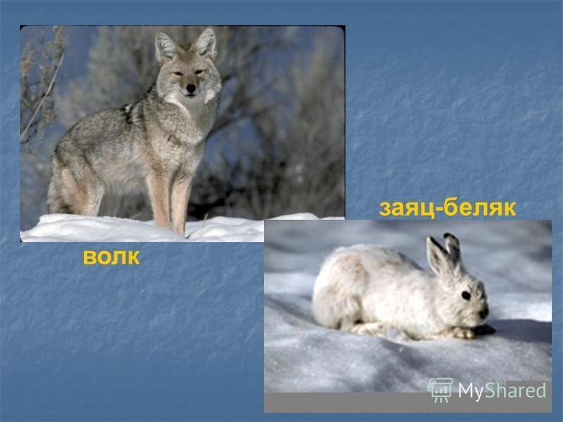 волк заяц-беляк