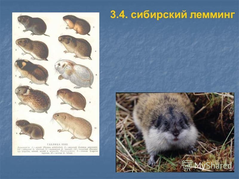 3.4. сибирский лемминг