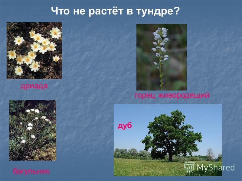 Что не растёт в тундре? дриада багульник горец живородящий дуб