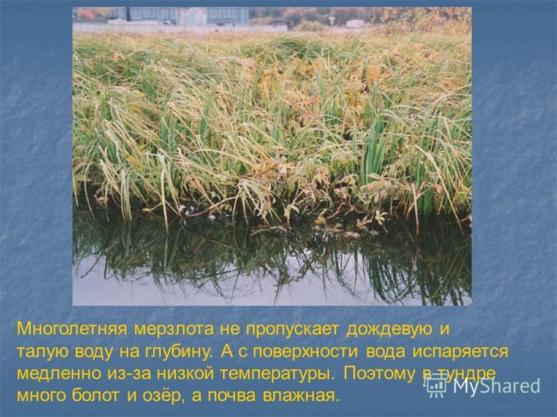 Многолетняя мерзлота не пропускает дождевую и талую воду на глубину. А с поверхности вода испаряется медленно из-за низкой температуры. Поэтому в тундре много болот и озёр, а почва влажная.