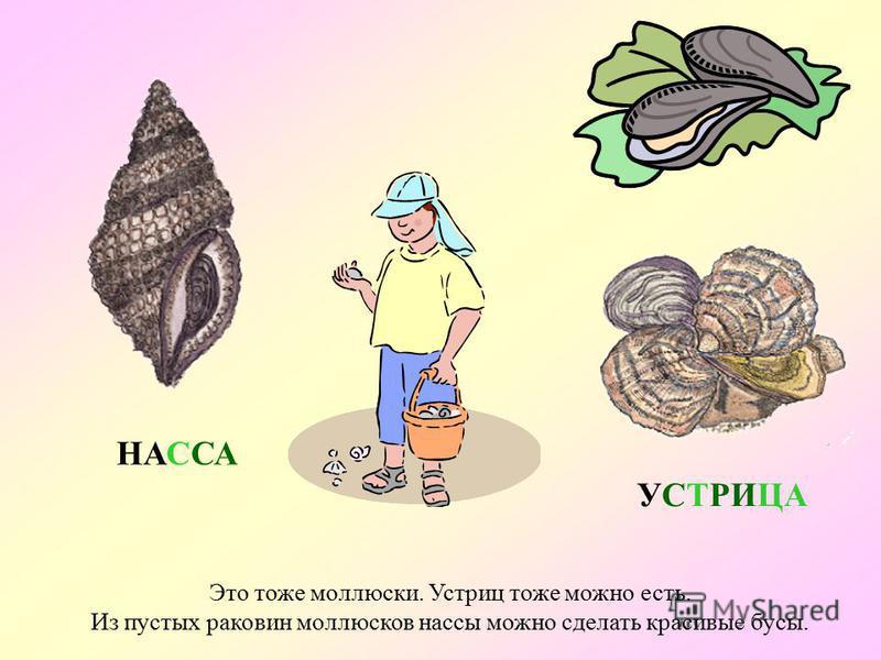 А это – моллюск рапана. Она - хищник, охотится на мидий и устриц. Мясо рапана можно есть. Если приложить пустую раковину к уху, то можно услышать, как шумит море… РАПАНА