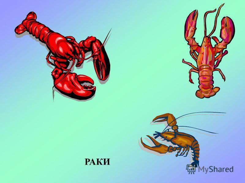 РАК-ОТШЕЛЬНИК Отшельники – небольшие рачки, похожие на крабиков. У них мягкое брюшко и нет своего панциря. Поэтому отшельники селятся в пустых раковинах моллюсков насосы и рапана