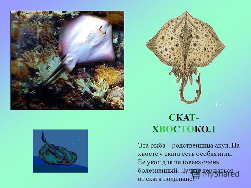 МОРСКОЙ ЁРШ (СКОРПЕНА) Эта рыбка похожа на ёжика, такая она колючая. Живет на дне моря среди камней и водорослей.