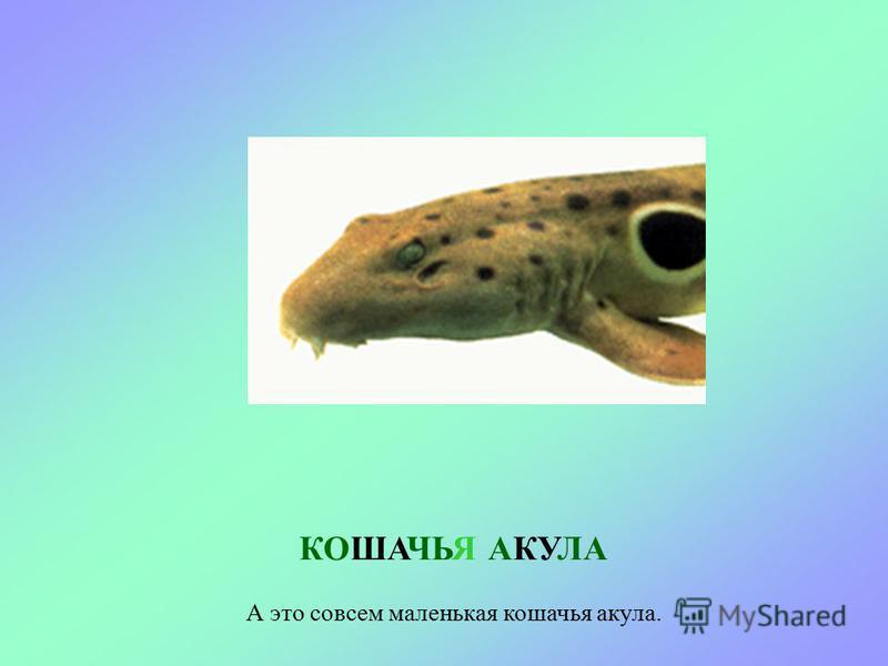 КАТРАН В Черном море живет два вида акул для человека они не опасны. Это – катран. Еще ее называют морская собака